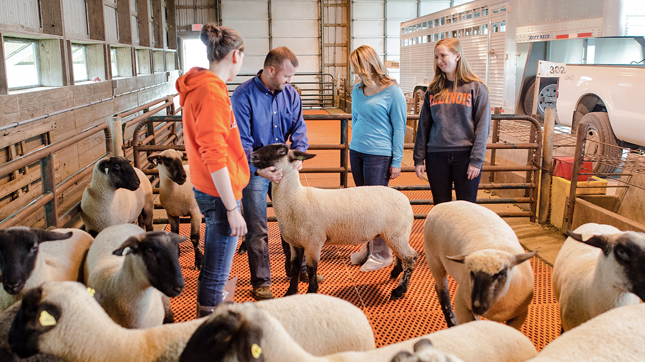 Students working with sheep.