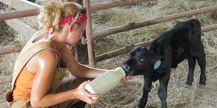 Student feeding a baby calf a bottle.