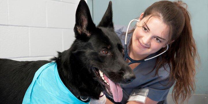 Pre-vet female student checking a black dog's heart rate