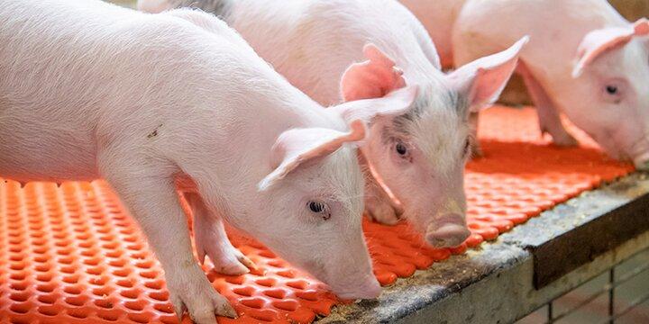 Piglets inside the Grein Swine Unit