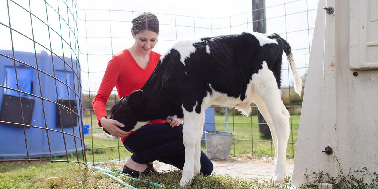 Dairy cattle student caring for calf in an outside setting