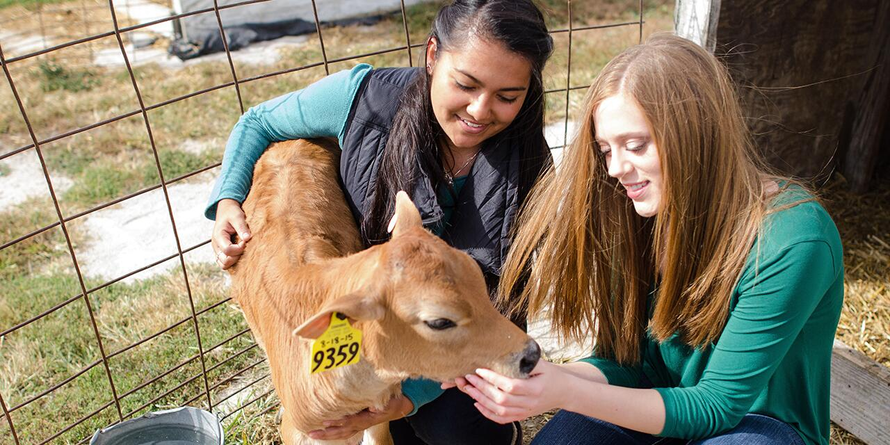 Students tending to a calf.